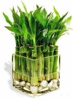 Лекарственный бамбук